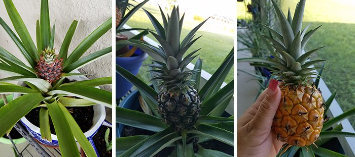 Growing Pineapples
